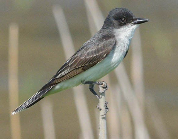 Eastern Kingbird 2018-14
