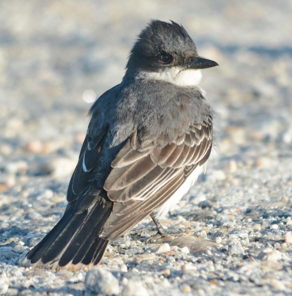 Eastern Kingbird 2018-9