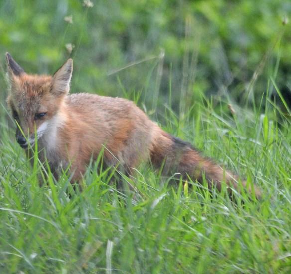 Fox 101