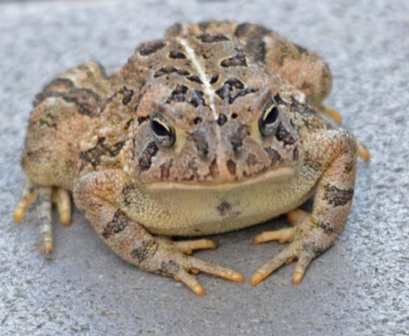 Frog 16