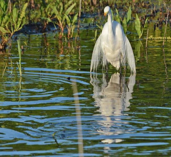 Great Egret 2018-13