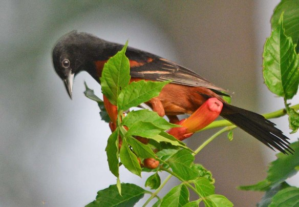 Orchard Oriole 2018-12