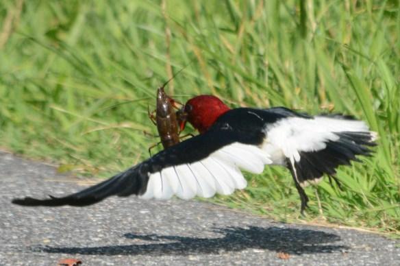 Red Headed Woodpecker 2018-14