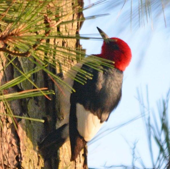 Red Headed Woodpecker 2018-28