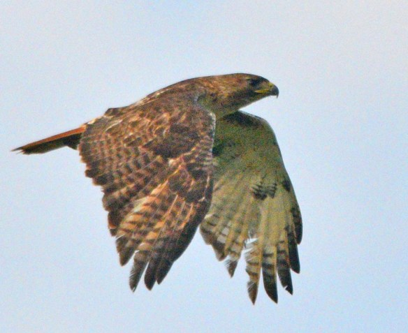 Red Tailed Hawk 2018-2