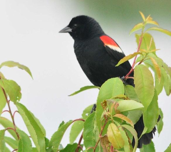 Red Winged Blackbird 2018-14