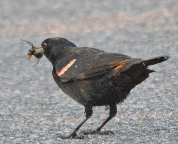 Red Winged Blackbird 2018-17