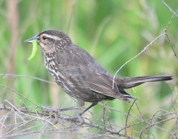 Red Winged Blackbird 2018-25