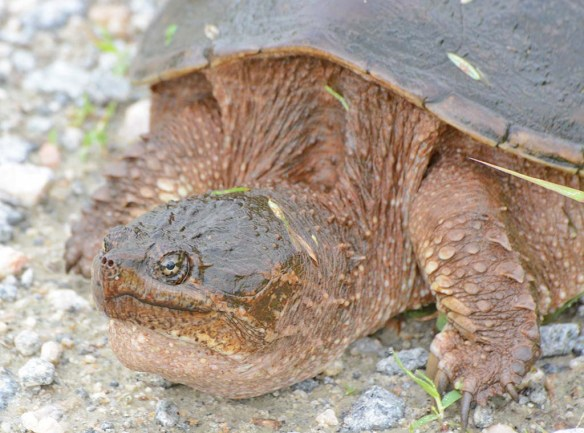 Snapping Turtle 32