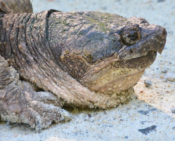 Snapping Turtle 34
