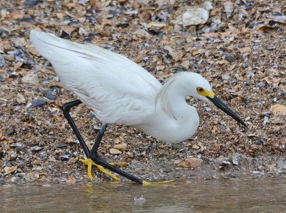 Snowy Egret 2018-5