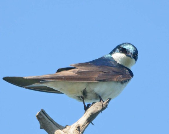 Tree Swallow 2018-24