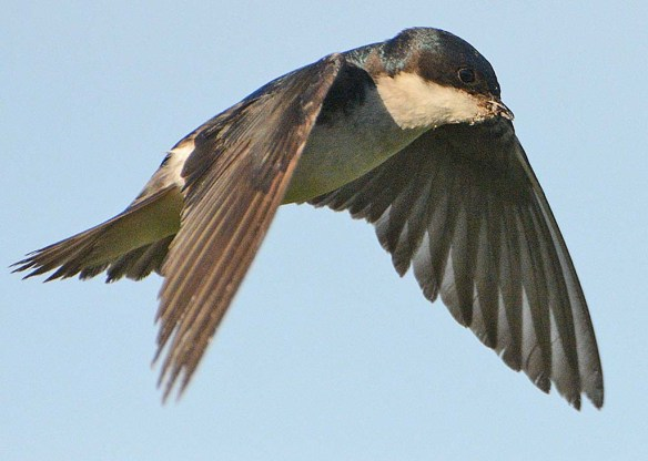 Tree Swallow 2018-28