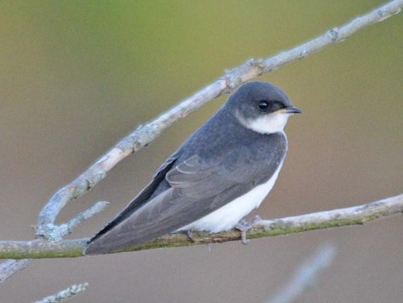 Tree Swallow 2018-43