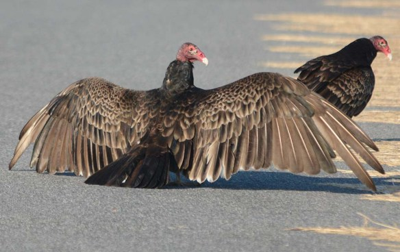 Turkey Vulture 2018-2