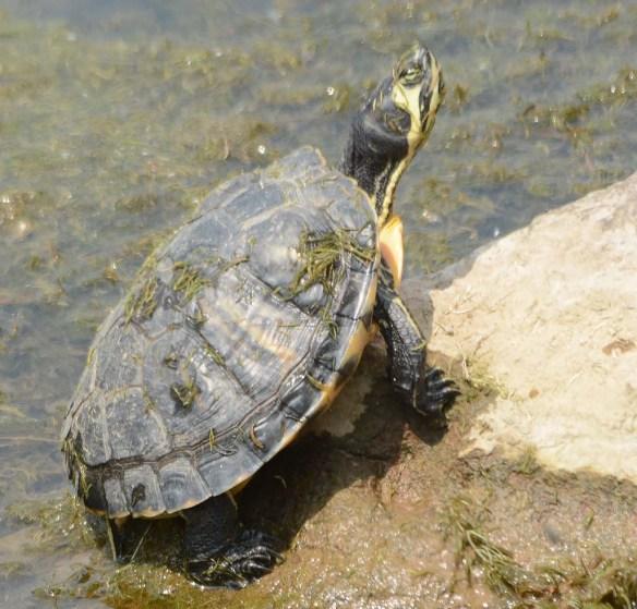 Turtle 81