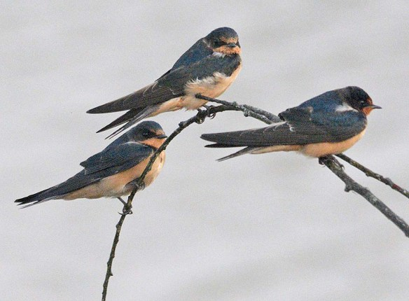 Barn Swallow 2018-13