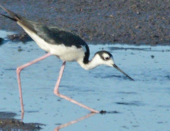 Black Necked Stilt 2018-16