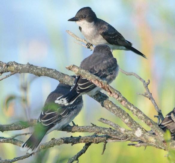 Eastern Kingbird 2018-15