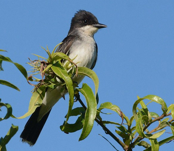 Eastern Kingbird 2018-16