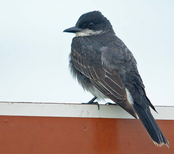 Eastern Kingbird 2018-19