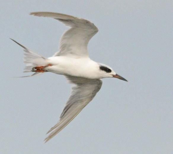 Forster's Tern 2018-80