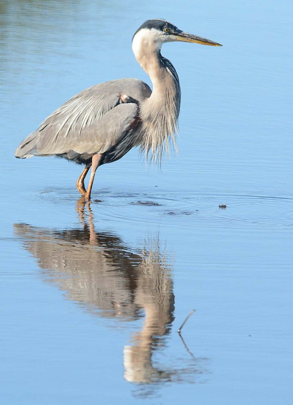 Great Blue Heron 2018-40