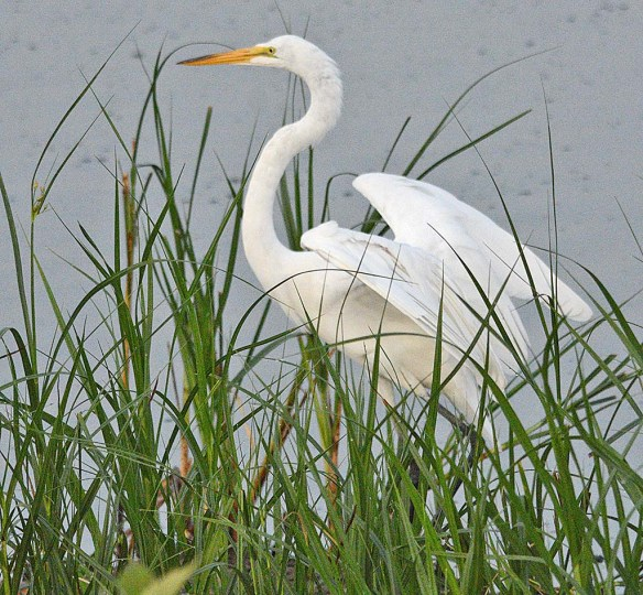 Great Egret 2018-39