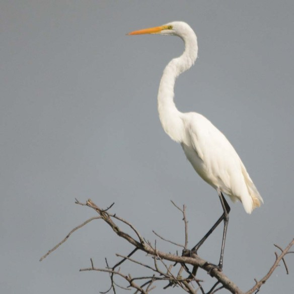 Great Egret 2018-50