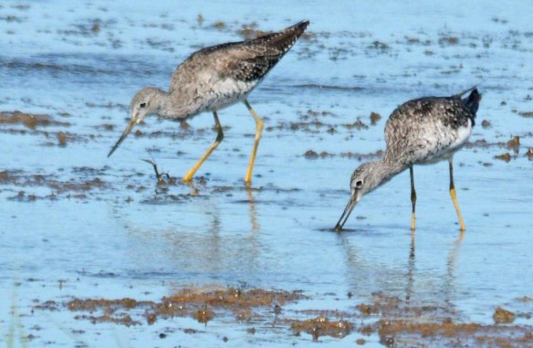 Greater Yellowlegs 2018-6