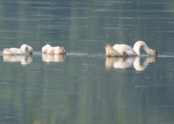 Mute Swan 2018-7