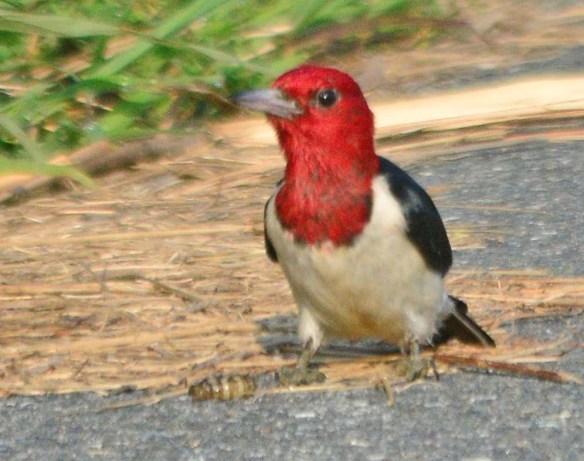 Red Headed Woodpecker 2018-45