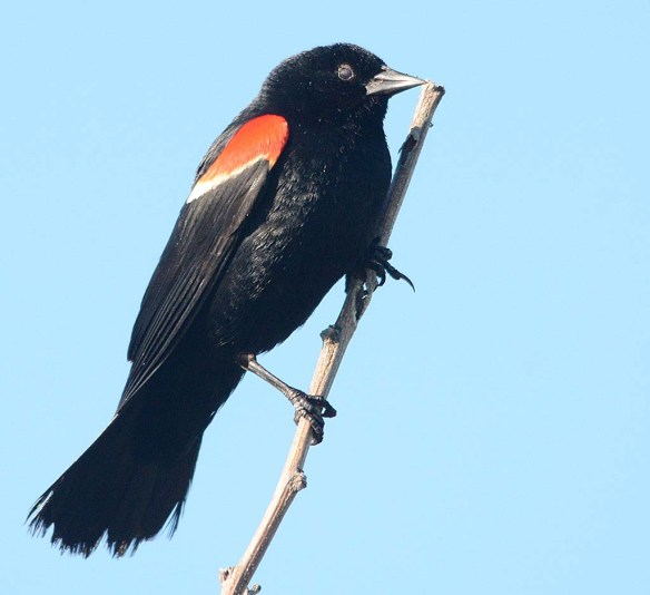 Red Winged Blackbird 2018-32