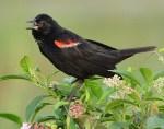 Red Winged Blackbird 2018-35
