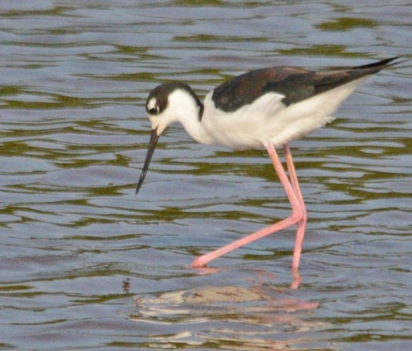Black Necked Stilt 2018-21
