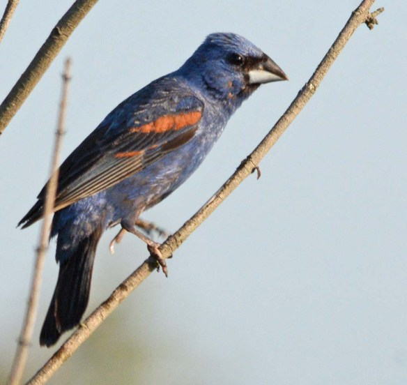 Blue Grosbeak 2018-11