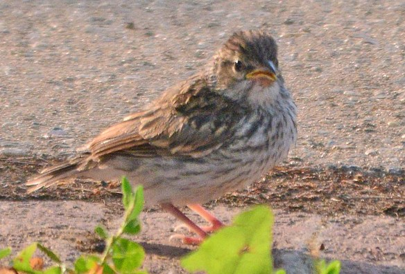 Chipping Sparrow 2018-5