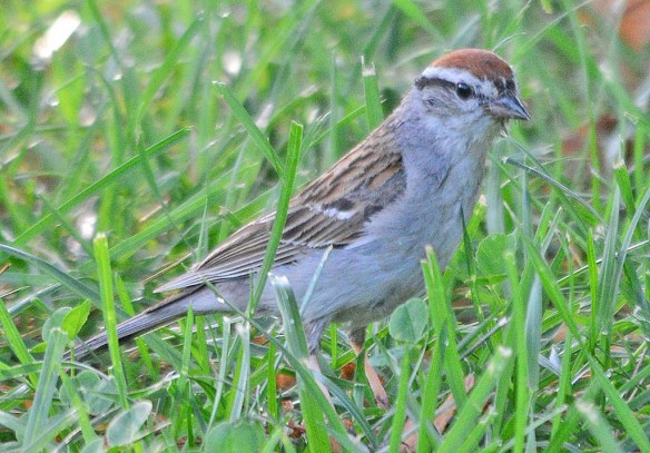 Chipping Sparrow 2018-6