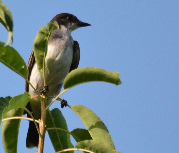 Eastern Kingbird 2018-25