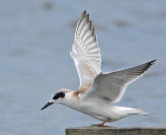 Forster's Tern 2018-100