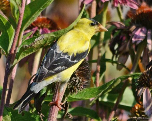 Goldfinch 2018-16
