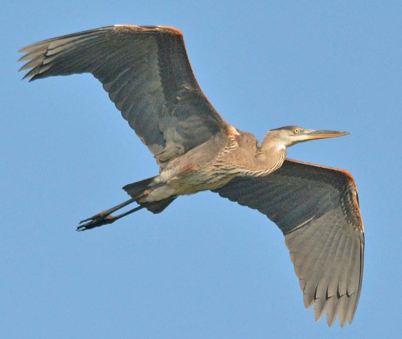 Great Blue Heron 2018-62