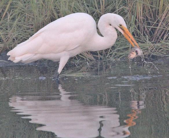 Great Egret 2018-53