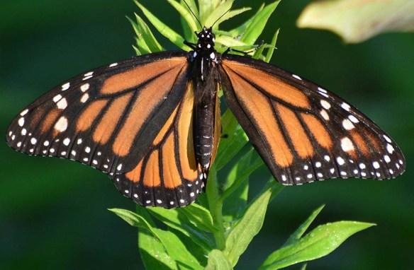 Monarch 59