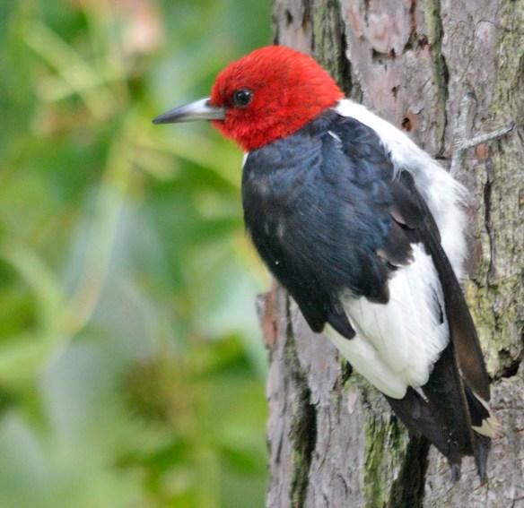 Red Headed Woodpecker 2018-50