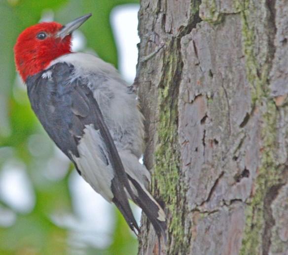 Red Headed Woodpecker 2018-51