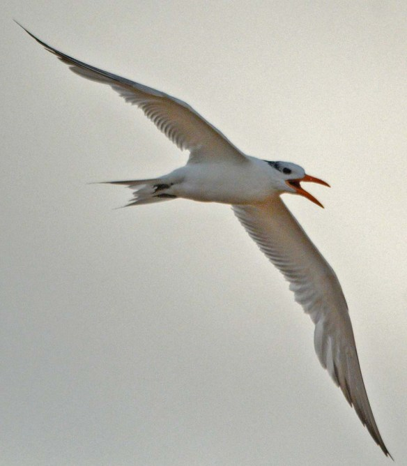 Royal Tern 2018-4
