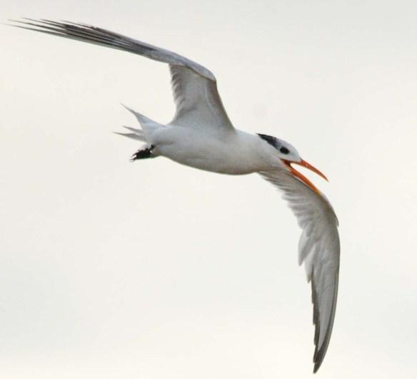 Royal Tern 2018-5