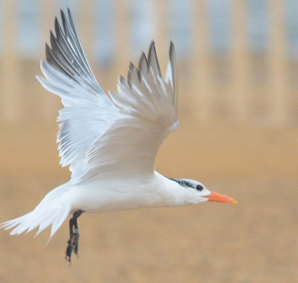 Royal Tern 2018-7