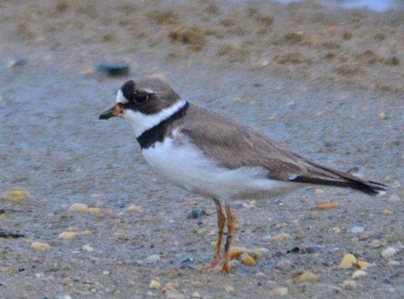 Semipalmated Plover 2018-4